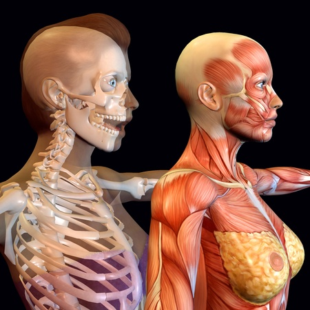 3d rendering of the female anatomy as illustration Stock Illustration - 9560901
