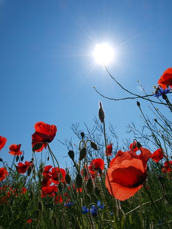 Poppies in the sun from below photo