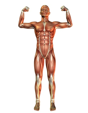 anatomy muscles: 3D Rendering Muscle man pose in force