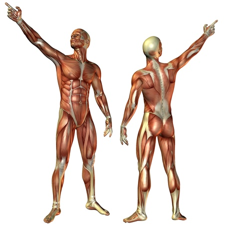 muskelaufbau: 3D-Rendering-Muskel-Mann aus dem vorderen und hinteren Struktur