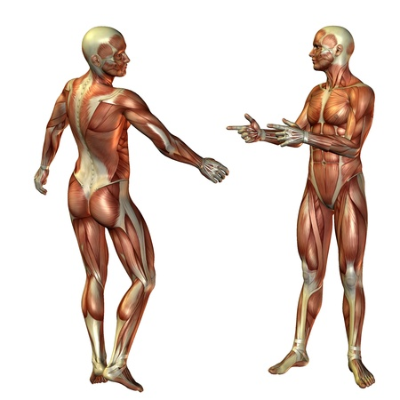 leg muscle fiber: 3D Rendering Muscle Man Standing Stock Photo