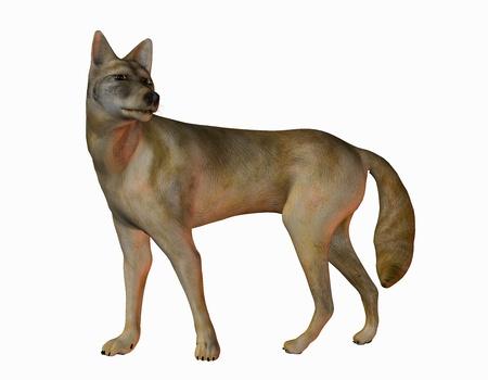 3D rendering of an American prairie wolf photo
