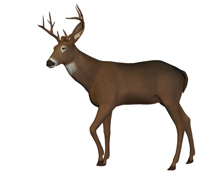 fallow: 3D rendering of a young deer