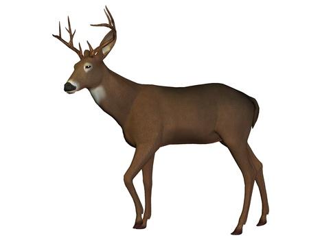 cervidae: 3D rendering of a young deer