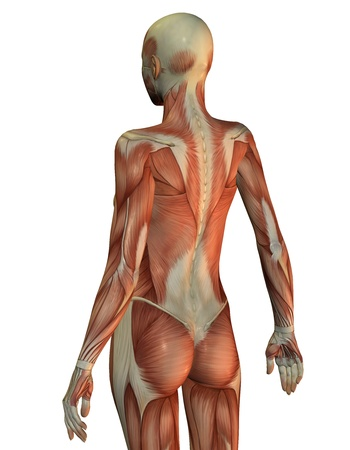 anatomy body: 3D rendering of a female upper body from behind