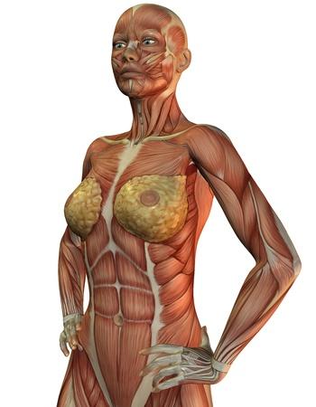 muskelaufbau: 3D-Rendering der Anatomie und Muskeln einer Frau