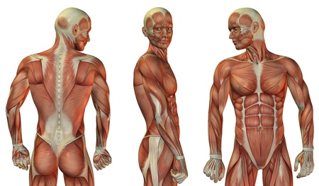 leg muscle fiber: Muscle structure of head and upper body of the man