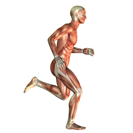 leg muscle fiber: Illustration of muscle in a running man