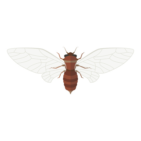 Cicada vector illustration. Isolated insect with open wings on white background Illustration