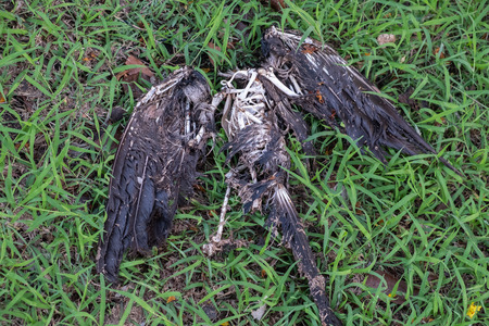 black Pigeons die on the ground