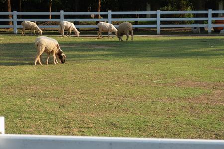 little white sheep in farm in a sunny day Foto de archivo