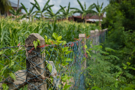 The thorny fence is a corn field. The harvest time is near.