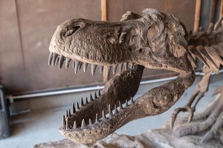 raptor bone fossil close up in museum