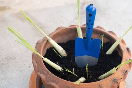 How to grow Lemongrass in a pot By using mixed soil especially for planting trees 写真素材