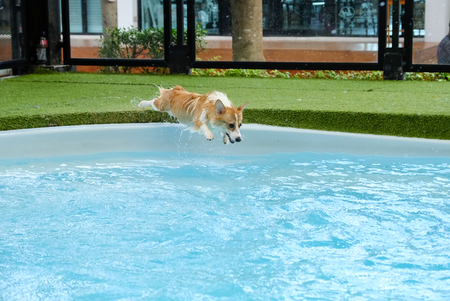 welsh corgi dog success to overcome fear of jumping into swimming pool on summer weekend.Corgi puppies are happy to jump into the pool during the summer. Standard-Bild