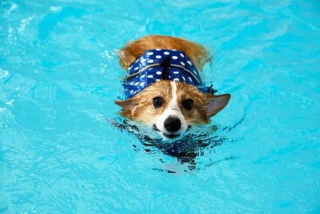 junger glücklicher walisischer Corgi-Hund, der im Sommer mit blauer Schwimmweste im Pool schwimmt. Corgi-Welpen schwimmen im Sommer glücklich.