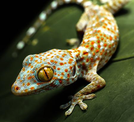 Geckos rampant Banque d'images - 82431846