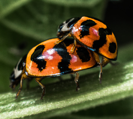 Two ladybugs are in love
