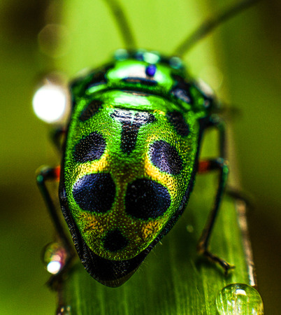 Beetles with bright green and yellow