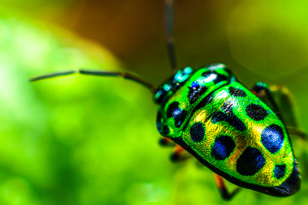 Beetle with a beautiful green color