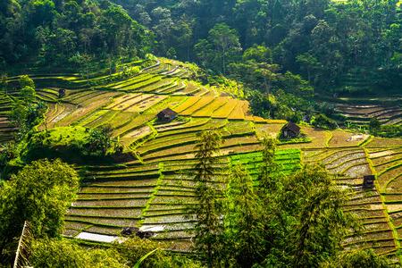 Rice fields are yellowing 版權商用圖片