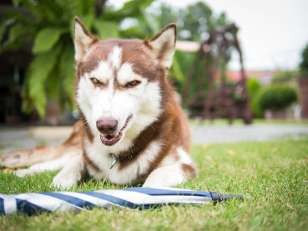 be careful: The copper siberian husky is about to fight.