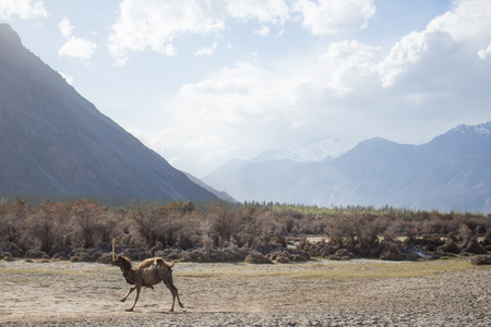 running camel: Stop motion of the running camel on the desert with the dry trees behind, Nubra Valley, Leh Ladakh.
