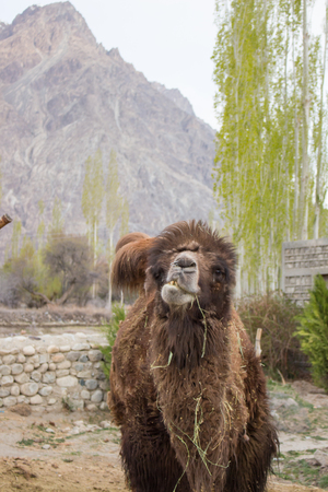 goffo: Stop motion of camel chewing grass in Nubra Valley. Archivio Fotografico