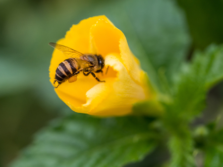The bee is carrying the pollen and attaching to its legs.
