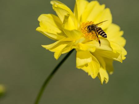 The bee is streching her leg while she is working with the pollen.