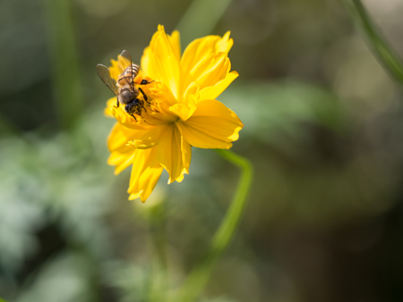 The nice moment of the bee grabbing the pollen on the yellow flower.