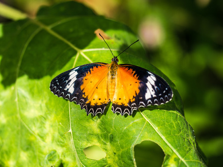 Colorful butterfly with straight winngs on the green leaf.