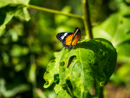 The colorful butterfly with circular mouth is ready to fly. Stock Photo
