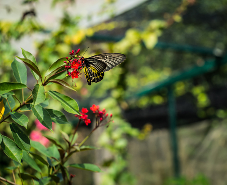 The giant black butterfly on the red flower is eating the pollen. Stock Photo
