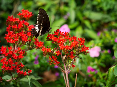 The macro photography of big black butterfly eating the flowers pollen.