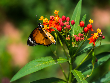 nice moment of orange butterfly eating the pollen while climbing on the flower in macro photography