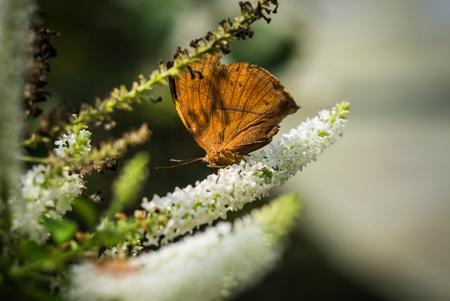 Stop motionn of brown butterfly on the white flowers.