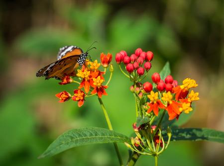 The little orange butterfly on the orange flower. Stock Photo
