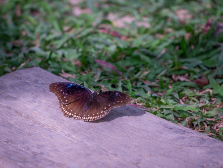 Ready to fly of the black butterfly. Stock Photo