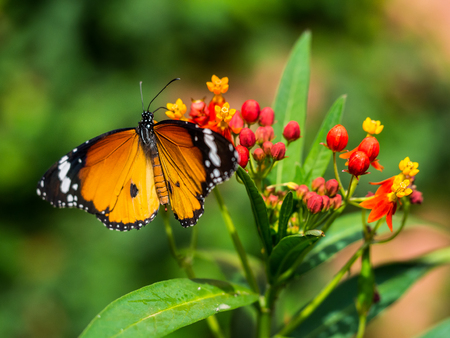 Butterfly with the straight wings, really nice moment here. Stock Photo