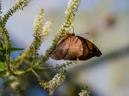 The clear moment of brown butterfly hanging upside down on the white flower.