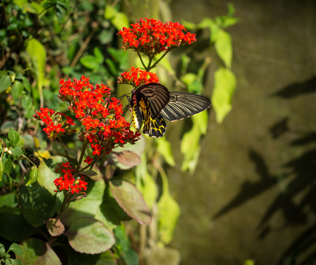 The giant black butterfly on the red flower is finding the pollen.