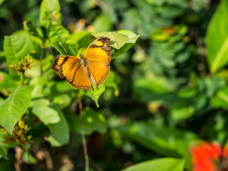 Brown butterfly with great wings on the leaf. Stock Photo