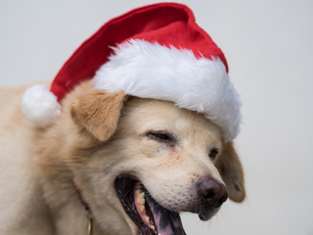 A dog is laughing with the red Santa Claus hat he wearing. Such a happy moment to see the new kind of Santa during the Christmas holidays.