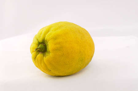 etrog: Etrog green fruit of the citrus plant of the type of the lemon
