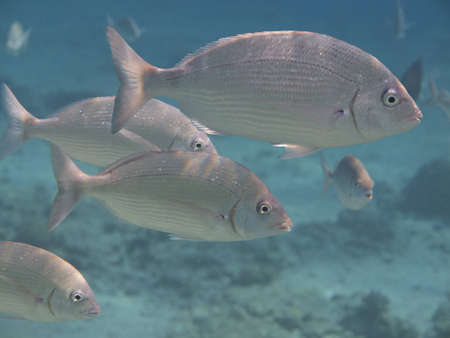 Gulf of Eilat coral fish supposedly Lethrinus nebulosus Red Sea Stock Photo - 17074621