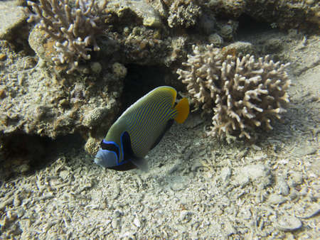 pomacanthus imperator:  It is a reef-associated fish The emperor angelfish Pomacanthus imperator