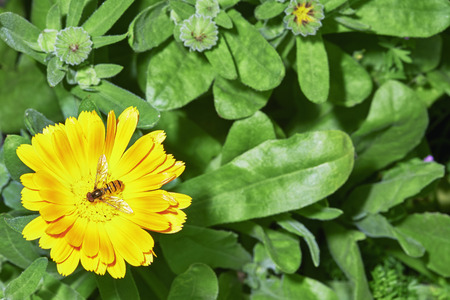 incest: Detailed view of yellow flowers with insect and leaves in the background