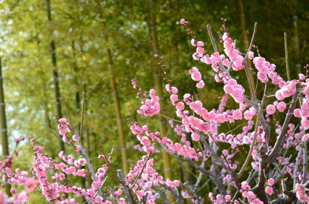 plum grove: peach-colored plum and bamboo grove
