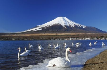 birds lake: mt.fuji and the swan Stock Photo